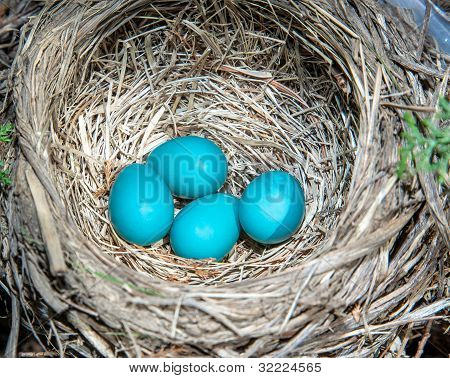 Robins Eggs, Almost Ready To Hatch.