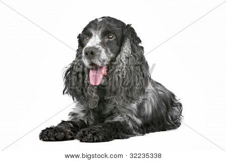 Blue Roan Cocker-Spaniel