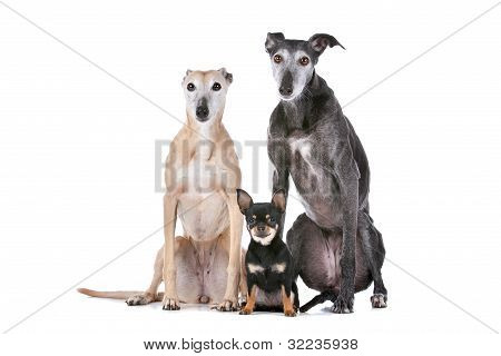 Two Greyhounds And A Chihuahua