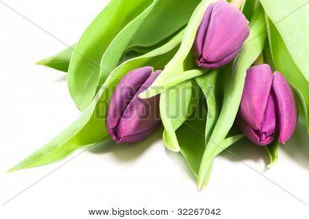 Tulipanes morados frescos sobre fondo blanco