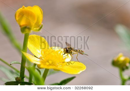 Fly on a yellow Buttercup flower