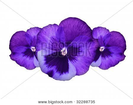 Purple pansy flowers border, floral decorative design made of fresh spring plant, isolated over white background, beautiful natural flower
