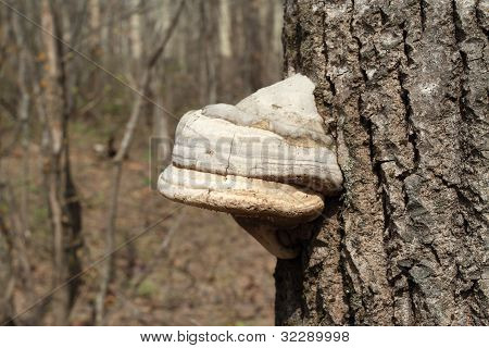 Excrescence On Tree In Spring Wood