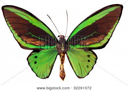 Australian Cairns Green butterfly isolated on white