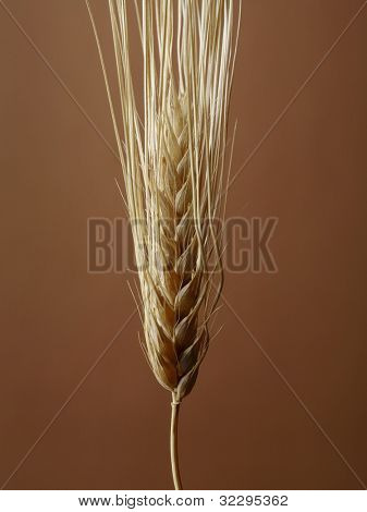 Barley seedhead on brown background.