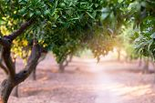 Citrus garden with trees, way and sunlight in Sicily, Italy. Mandarin tree with fruits. Branch with  poster