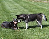 stock photo of blue heeler  - Husky and Blue Heeler playing and looking at eachother - JPG