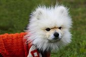 A Furry Bichon Frise Dog Outdoors Wearing A Red Coat To Protect It From Cold And Rain In Autumn poster
