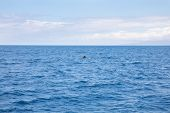Distant Fin Of Pilot Whales Swimming In Atlantic Ocean poster