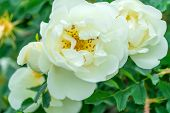 Close-up Of A Beautiful Bush Of A Wild White Rose Among Greenery poster