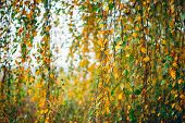 Autumn Leaves Of Birch Tree Close-up. Fall Natural Background Of Yellow Orange Green Foliage. Scenic poster