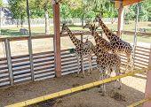 African Giraffes In An Enclosure At The Zoo. poster