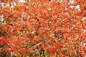 Fall Season Advertisement. Nature Beauty. Natural Colors. Autumn Branches. Autumn Red Leaves. Natura poster