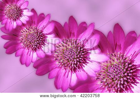 Pink strawflowers design