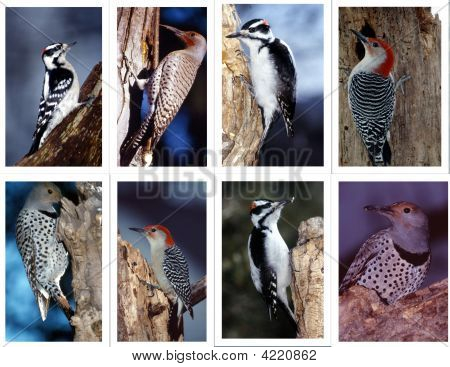 Woodpecker Collage