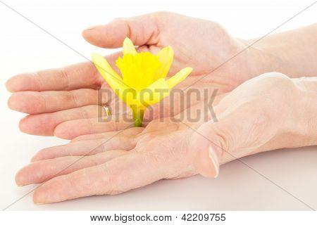 Blossom Of A Narcissus Pseudonarcissus
