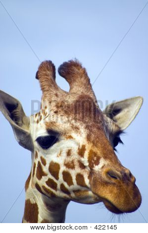 Giraffe With Blue Skies