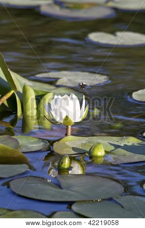 Lily Flower On A Evening On The Floodplain Lakes.