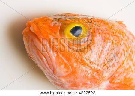Orange Roughy Head