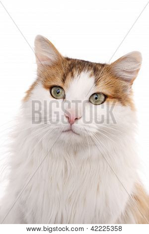 Longhaired Housecat