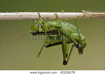Orthopterous Having Sex