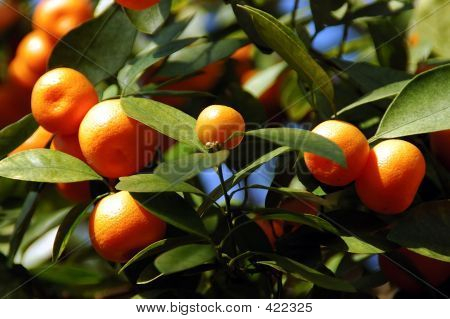 Calamondin Citrus Oranges