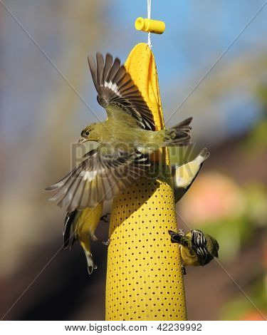 Lesser goldfinch (Carduelis psaltria) beautiful wings female