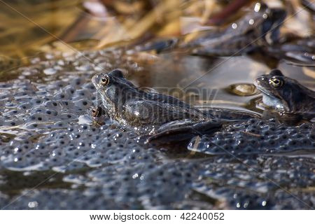 Frogs Spawning