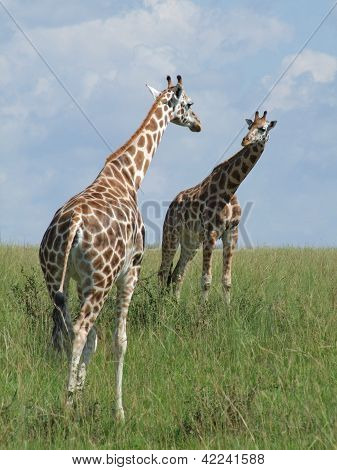 Two Giraffes In African Savannah