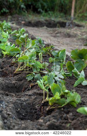 Strawberry Planting