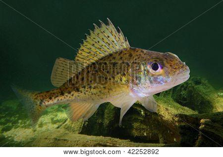 Fotografia subaquática de peixes predadores a Acerina Eurasiana (Gymnocephalus cernuus).