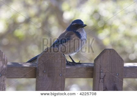 Bluejay On Fence
