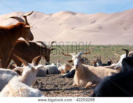 goat - dune - desert - mongolia