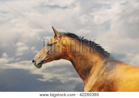 buckskin horse portrait in sky