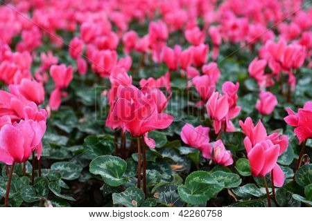 Pink Bed Of Zen Flowers Covered With Water Drops