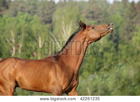 bay horse portrait in forest