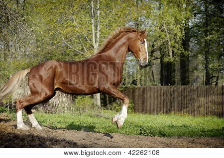 Amazing chestnut orlov horse with blond hair running alone