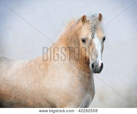 welsh mountain pony stallion portrait