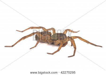 Wolf Spider Profile