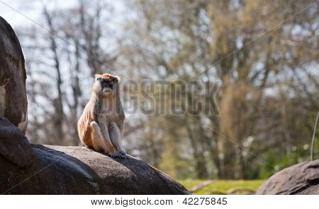 Small Monkey Sitting On Rock Watching