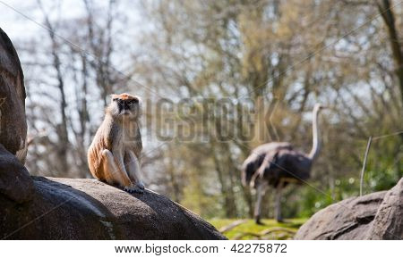Small Monkey Sitting On Rock With Ostrich