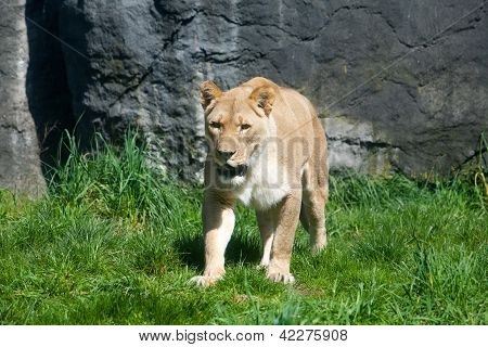 Lioness On The Attack