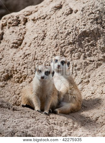 Pair Of Meerkats Posing