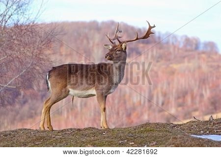 Deer Stag In A Glade