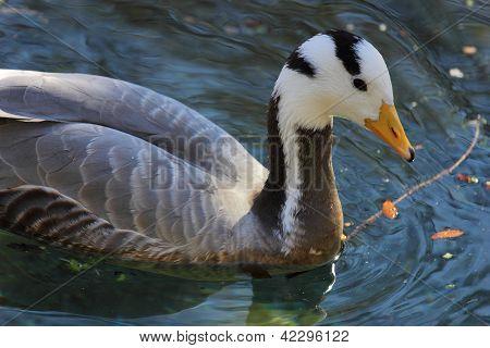 Bar Headed Goose