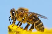 stock photo of spread wings  - detail of honeybee  - JPG