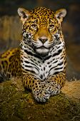 stock photo of tigers-eye  - Adult Female Jaguar sitting on the rock looking into the camera - JPG