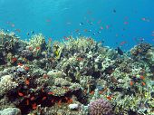 picture of fire coral  - coral reef with hard and fire coral and exotic fishes at the bottom of red sea in egypt - JPG