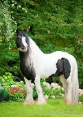 pic of workhorses  - the beautiful paint draft horse with long mane - JPG