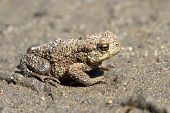 Young Individuals Common Toad Sitting On The Sand.